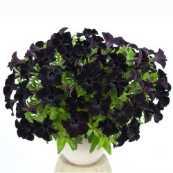 Petunia 'Ray Black'