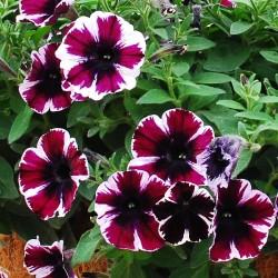 Petunia 'Sweetunia Miss...