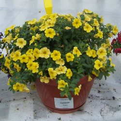 Calibrachoa 'Calipetite...