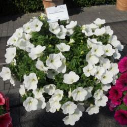 Potunia Plus White