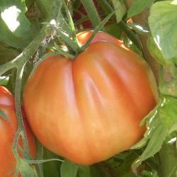 Pomodoro 'Pera d'Abruzzo'