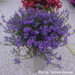 Scaevola 'Purple Haze'
