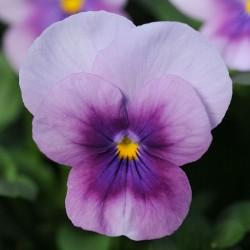Miniviola 'Sorbet Orchid Rose Becon'
