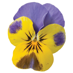 Miniviola 'Quicktime Yellow Blue Jump Up'