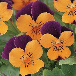 Miniviola 'Sorbet XP Orange Jump Up'