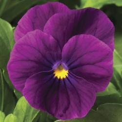 Miniviola 'Penny Violet'