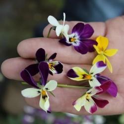 Viola Wild Rabbit