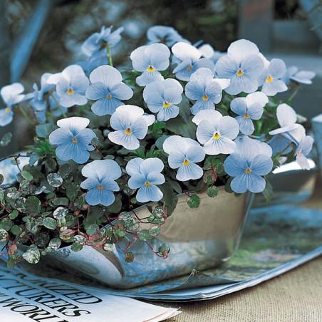 Miniviola 'Gem Blue Heaven'