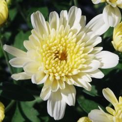 Crisantemo 'Yahoo Coco'