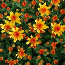 Crisantemo 'Yahoo Abricot'