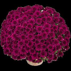 Crisantemo 'Sultan Violet'