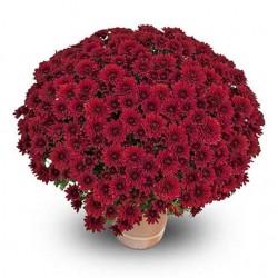 Crisantemo 'Sultan Rouge'