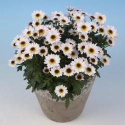 Crisantemo 'Pico Exota White'