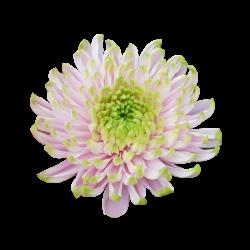 Crisantemo 'Rossano Charlotte'