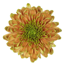 Crisantemo 'Rossano Elizabeth'