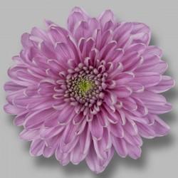 Crisantemo 'Rossano Dark'
