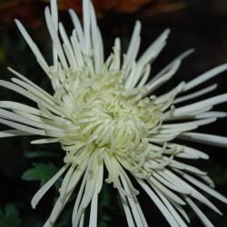 Crisantemo 'Veneri Bianco'