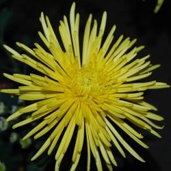 Crisantemo 'Veneri Giallo'