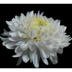 Crisantemo 'Magnum'