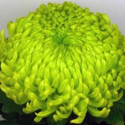Crisantemo 'Jade'