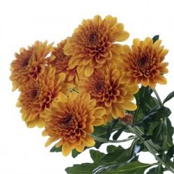Crisantemo 'Lampion'