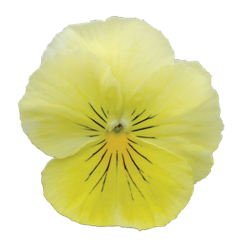 Viola Ricadente 'Cool Wave Lemon'