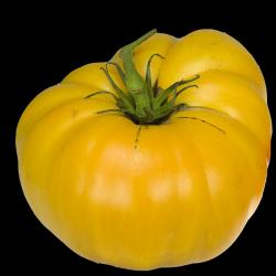 Pomodoro 'Brandiwine Yellow'
