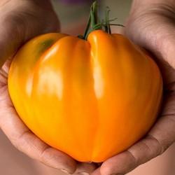 Pomodoro 'Fragola Arancio'