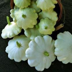 Zucchino 'Early White Bush Scallop'