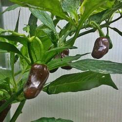 Peperoncino 'Habanero Chocolate Bullet'