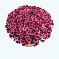 Crisantemo 'Sultan Cerise'