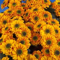 Crisantemo 'Blink Elisa'