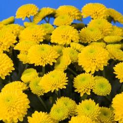 Crisantemo 'Hondo'